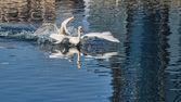 Fighting Swans — Stock Photo