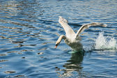 Swan on Take Off — Stock Photo