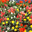 Garden filled with colorful tulips in springtime — Stock Photo