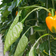 Growth of yellow bell peppers inside a greenhouse - Foto de Stock
