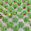 Stock Photo: Rows of young marigolds growing inside greenhouse
