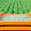 Crate with young lettuce plants ready to be put into the ground — Stock fotografie