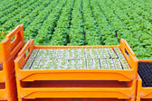 Crate with young lettuce plants ready to be put into the ground — Stock Photo