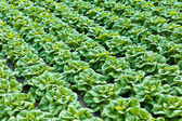 Rows of lettuce growing inside a greenhouse — Stock Photo