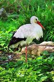Cigüeña blanca — Foto de Stock