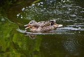 Wild duck swimming — Stock Photo