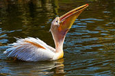 Crested pelican — Stock Photo