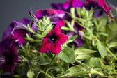 Petunia plant with flowers — Stock Photo