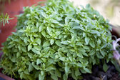 Greek basil — Stock Photo