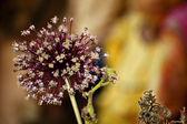 Garlic Flower — Stock Photo