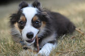 Miniature Australian Shepherd Puppy — Stock Photo