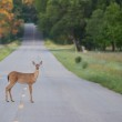 Deer in a Road — Stock Photo #11369715