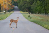 Deer in a Road — Stock Photo