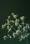 Bunch of thistle — 图库照片