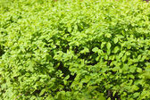 Green bush background — Stock Photo