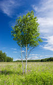 Couple of young birches — Stock Photo