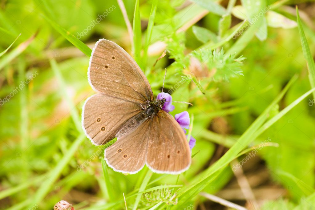 Brown butterfly is sitting on the flower on the green grass background — Stock Photo #11906498