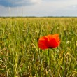 Poppies on the field - Stock Photo