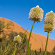 Stock Photo: Australidesert outback flowers