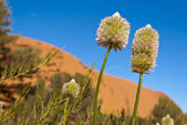 Australian desert outback flowers — Stock Photo