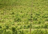 Wijnstokken, stellenbosch, zuid-afrika — Stockfoto