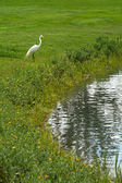 White crane standing on pond shore — Stock Photo