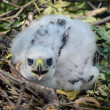 Northern goshawk chick — Stock Photo