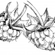 Vector de stock : Raspberry - vector illustration