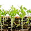 Tomato seedlings — Stock Photo #11849803