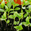 Pepper seedlings — Stock Photo #11849815