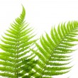 Two Ferns — Stock Photo #10745325