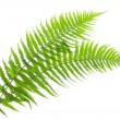 Stock Photo: Two Ferns