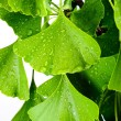 Ginkgo biloba — Stock Photo #10745479