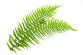 两种蕨类植物 — 图库照片