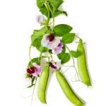 Постер, плакат: Peas plant