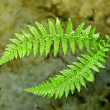 Ferns branches — Stockfoto