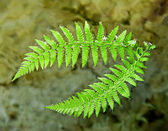 Ferns branches — Stock Photo