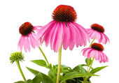 Coneflower — Stock Photo