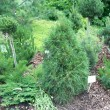 Pinus sylvestris 'Ksawerow' — Stock Photo