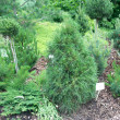 Stock Photo: Pinus sylvestris 'Ksawerow'