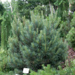 Pinus sylvestris 'Watereri' — Stock Photo