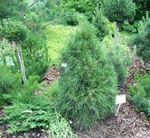 Pinus sylvestris 'Ksawerow' — Stock Photo