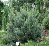 Pinus sylvestris 'Watereri' — Stock Photo
