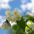 Stock Photo: Butterfly on a jasmine flower