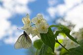Borboleta em uma flor de jasmim — Foto Stock