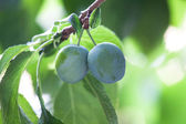 Mature plums — Stock Photo