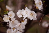 Branch with white cherry blossom in spring — Stock Photo