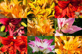 Set of close up beautiful lilies flowers — Stock Photo