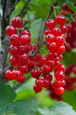 Close-up of a red currant — Stock Photo