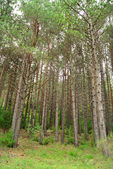 Pine forest in Aragon, Spain — Stock Photo